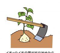 ヤマイモの収穫適期と掘り取りのコツ、蓄え方