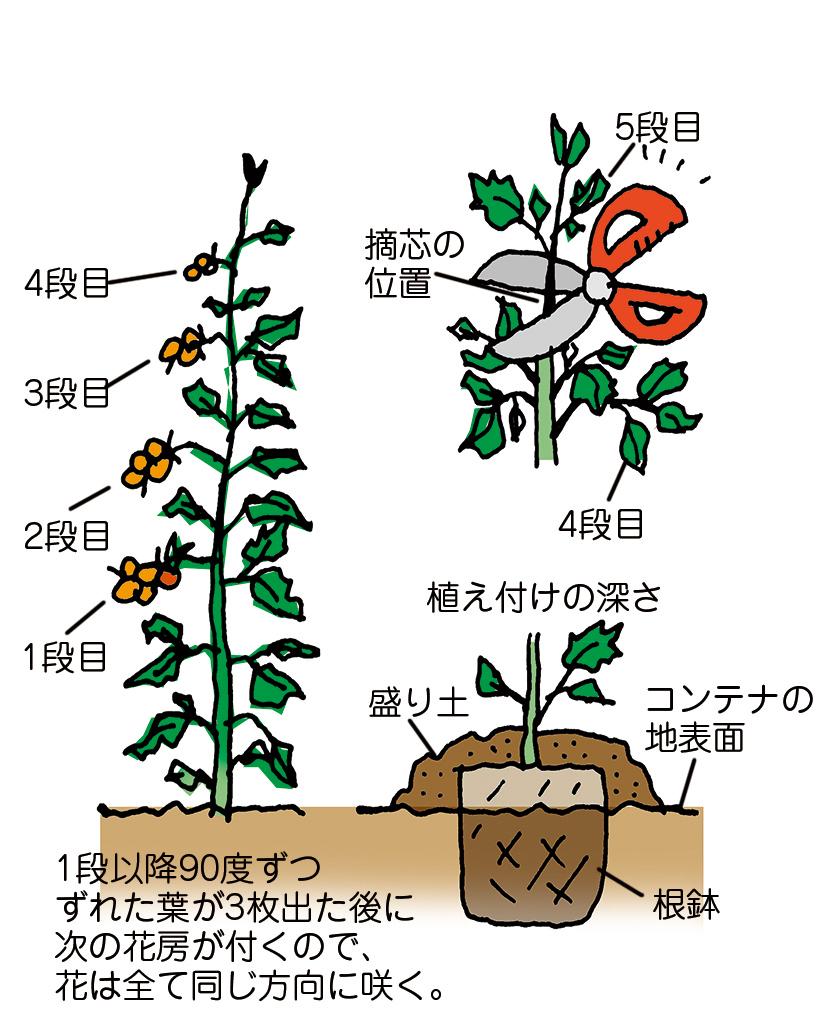 トマト栽培 摘心